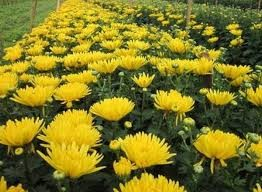 Tả cây hoa cúc