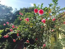 Tả cây hoa hồng